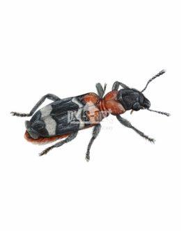 Przekrasek mróweczka (Thanasimus formicarius)