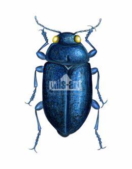 Przypłaszczek granatek (Phaenops cyanea)
