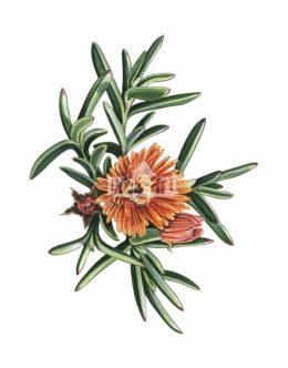 Przypołudnik (Mesembryanthemum)