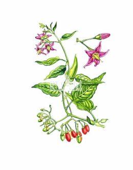 Psianka słodkogórz (Solanum dulcamara)