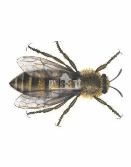 Pszczoła miodna (Apis mellifera) - królowa
