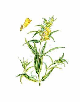 Pszeniec zwyczajny (Melampyrum pratense)
