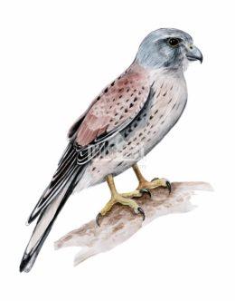 Pustułka zwyczajna (Falco tinnunculus)