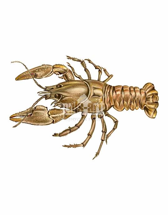 Rak szlachetny (Astacus astacus)