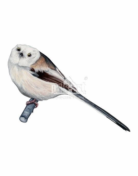 Raniuszek zwyczajny (Aegithalos caudatus) - samica