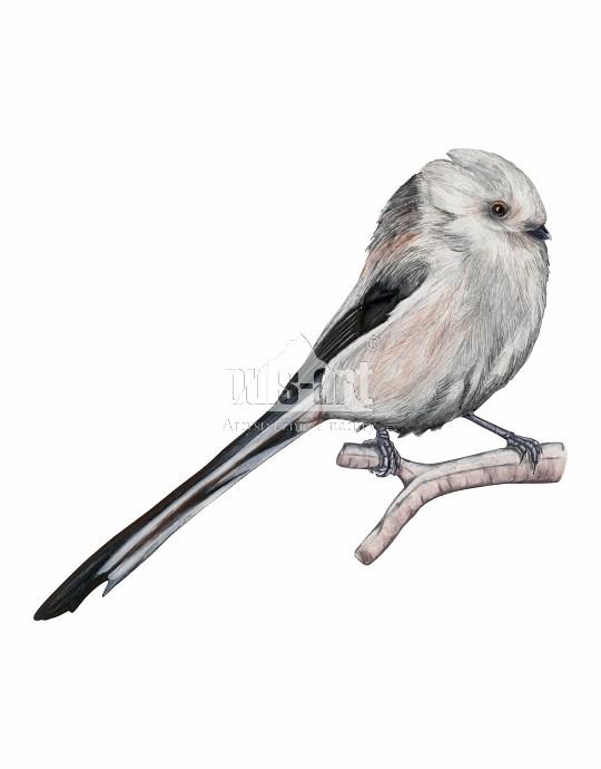 Raniuszek zwyczajny (Aegithalos caudatus) - samiec