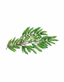 Rdestnica kędzierzawa (Potamogeton crispus)