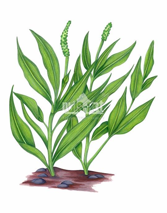 Rdestnica połyskująca (Potamogeton lucens)