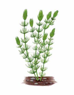 Rogatek sztywny (Ceratophyllum demersum)