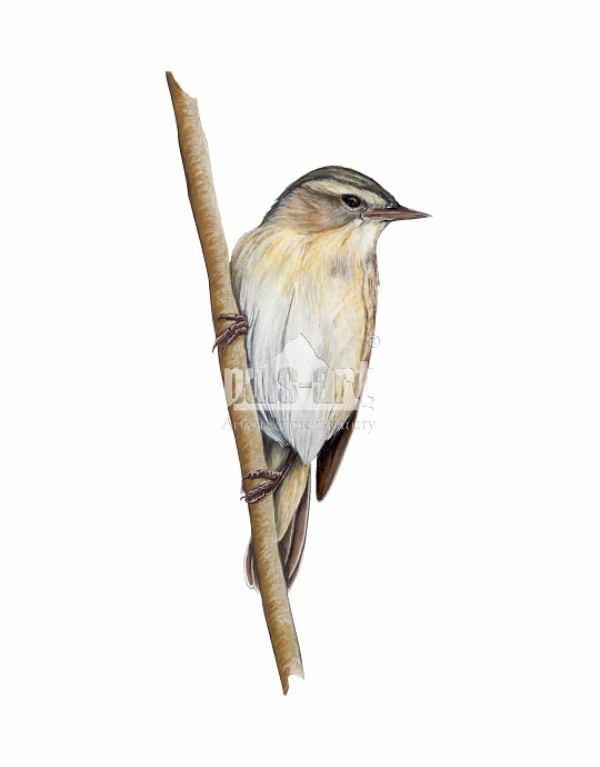 Rokitniczka (Acrocephalus schoenobaenus)