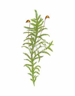 Rokitnik pospolity (Hippophae rhamnoides)