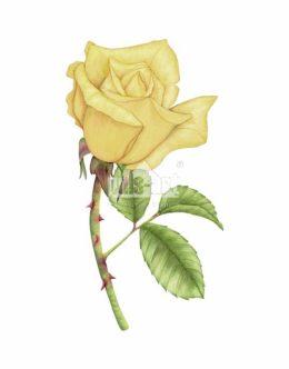 Róża żółta (Rosa foetida)