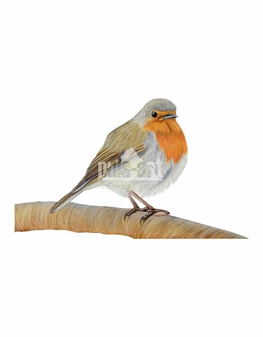 Rudzik (Erithacus rubecula)