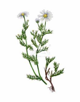 Rumianek pospolity (Matricaria chamomilla)