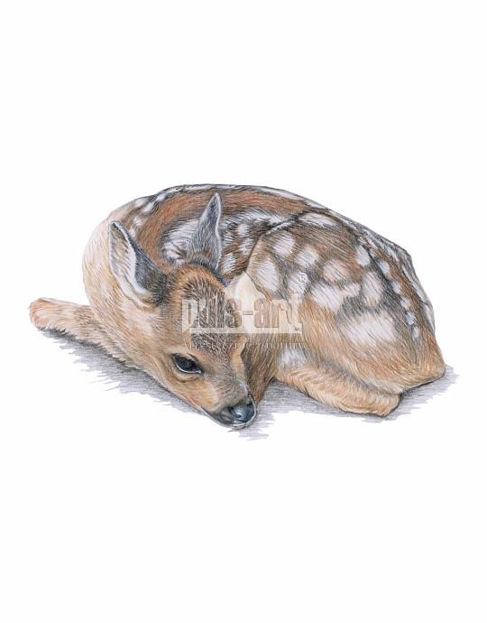 Sarna europejska (Capreolus capreolus)