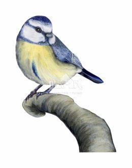 Sikora modra (Cyanistes caeruleus)