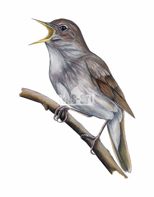 Skowronek zwyczajny (Alauda arvensis)