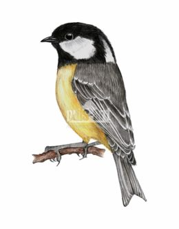 Sosnówka (Periparus ater)