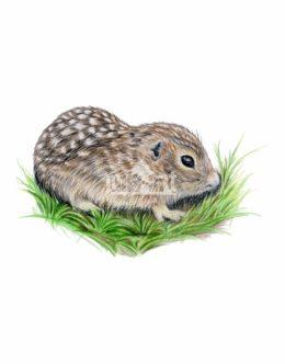 Suseł perełkowany (Spermophilus suslicus)