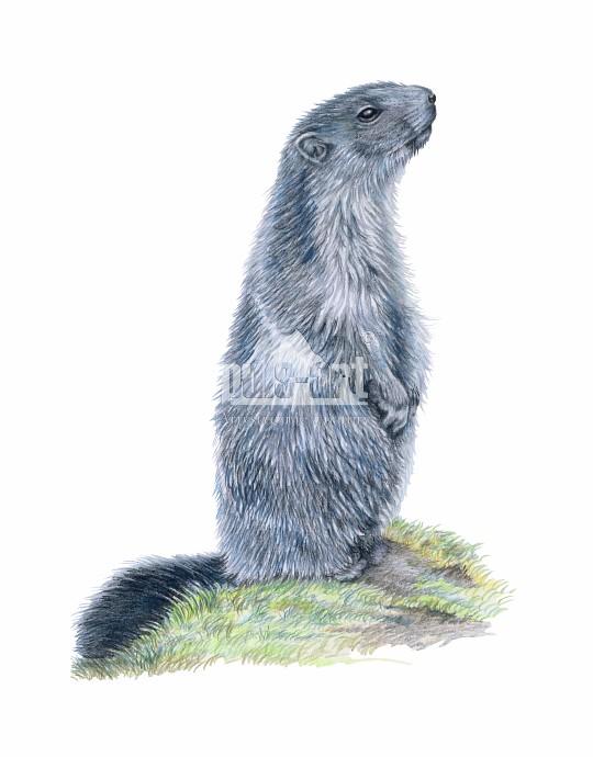 Świstak tatrzański (Marmota marmota latirostris)