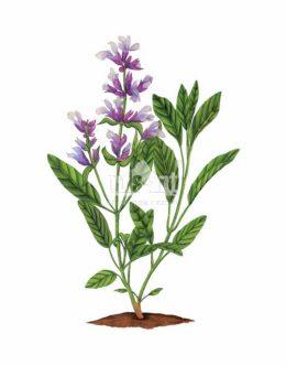 Szałwia lekarska (Salvia officinalis)