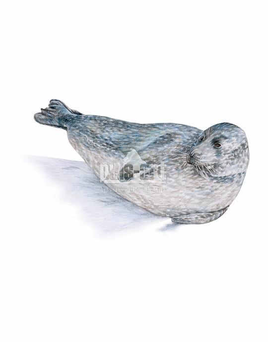 Szarytka morska (Halichoerus grypus)