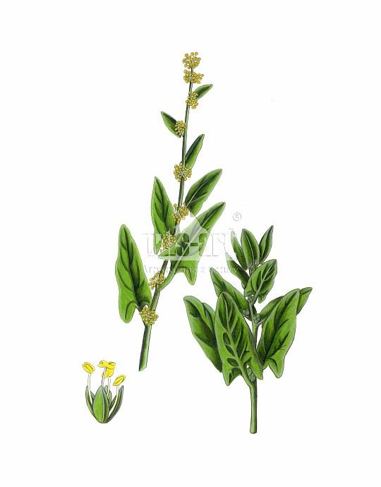 Szpinak warzywny (Spinacia oleracea)