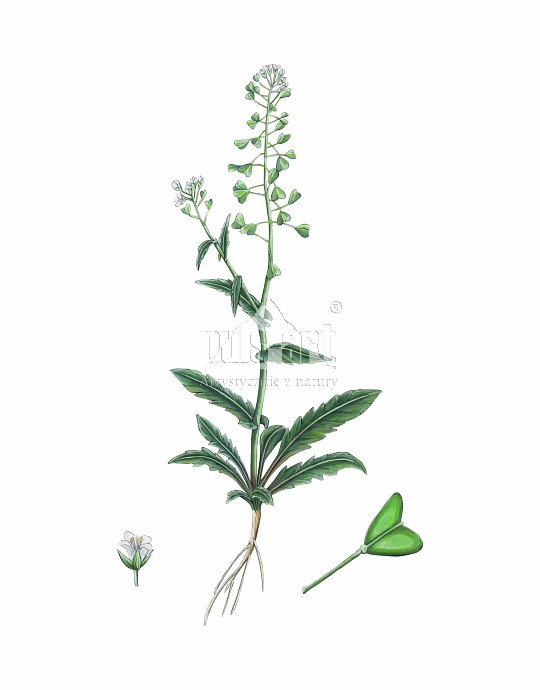 Tasznik pospolity (Capsella bursa pastoris)