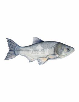 Tołpyga biała (Hypophthalmichthys molitrix)