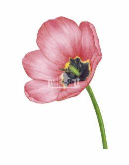 Tulipan czerwony (Tulipa)