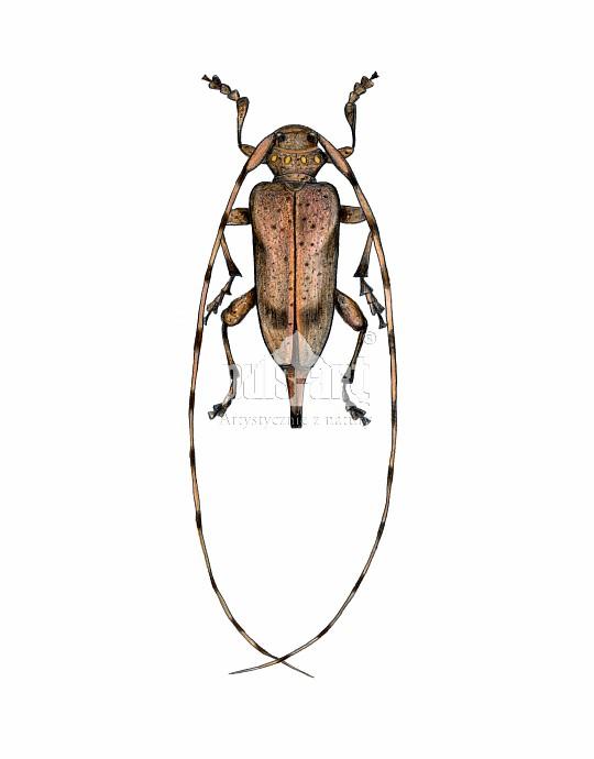 Tycz cieśla (Acanthocinus aedilis)