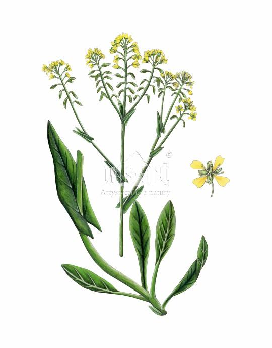 Urzet barwierski (Isatis tinctoria)