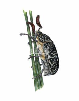 Wałkarz lipczyk (Polyphylla fullo)