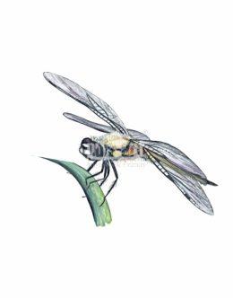 Ważka czteroplama (Libellula quadrimaculata)
