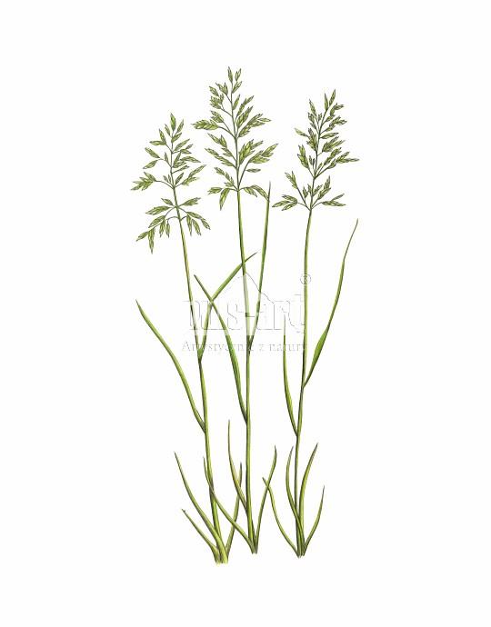 Wiechlina łąkowa (Poa pratensis)