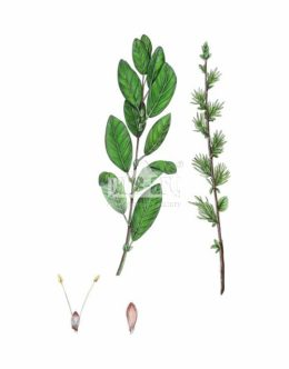 Wierzba szara (Salix cinerea)