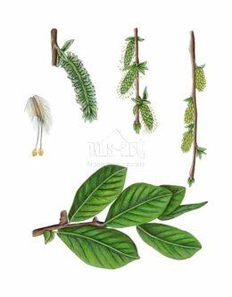 Wierzba uszata (Salix aurita)