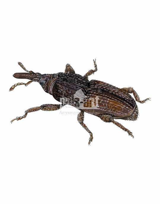Wołek zbożowy (Sitophilus granarius)