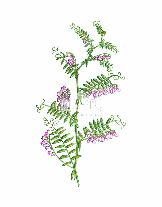 Wyka kosmata (Vicia villosa)