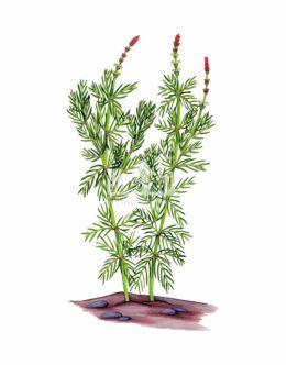 Wywłócznik kłosowy (Myriophyllum spicatum)