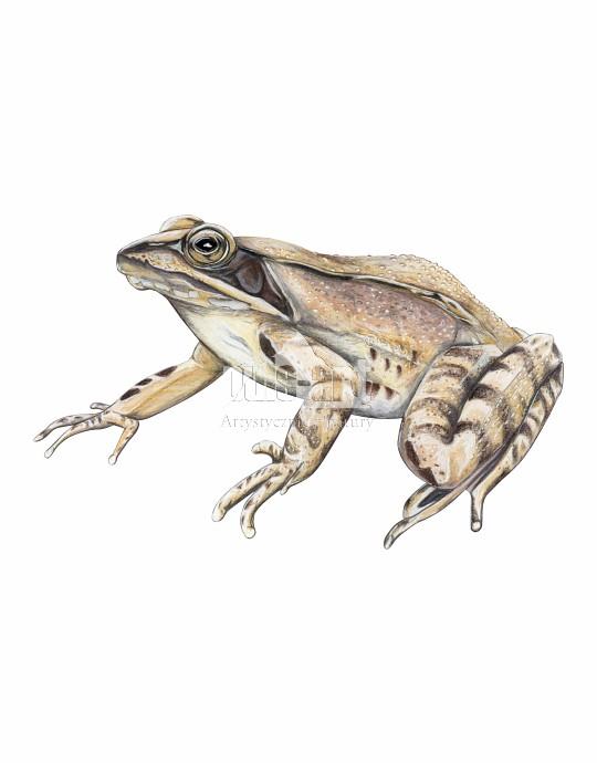 Żaba dalmatyńska (Rana dalmatina)