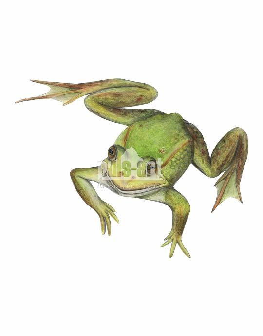 Żaba jeziorkowa (Pelophylax lessonae)