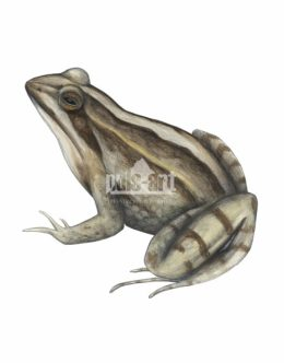 Żaba moczarowa (Rana arvalis) - samica