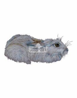 Zając bielak (Lepus timidus)