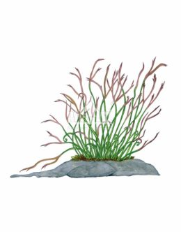 Zanokcica północna (Asplenium septentrionale)