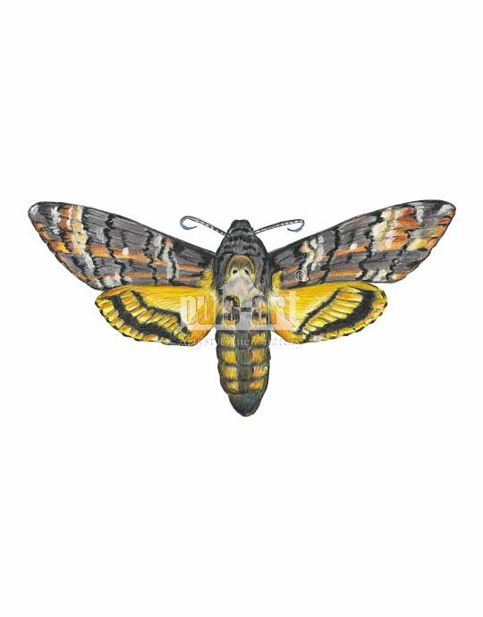 Zmierzchnica trupia główka (Acherontia atropos)