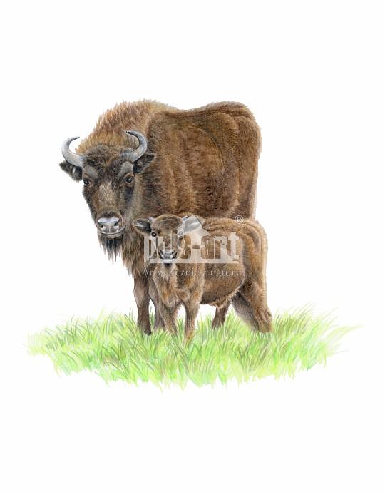 Żubr europejski (Bison bonasus)