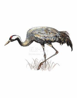 Żuraw zwyczajny (Grus grus)