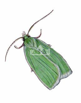 Zwójka zieloneczka (Tortrix viridana)
