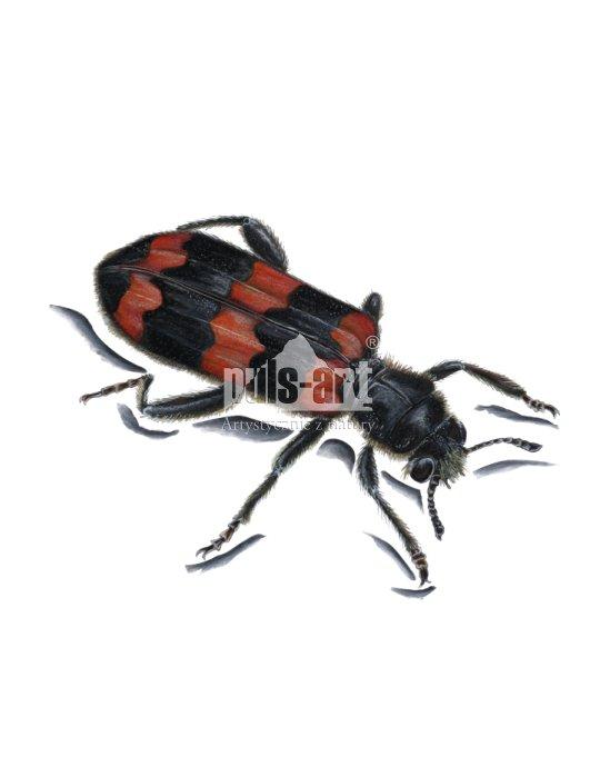 Barciel pszczołowiec (Trichodes apiarius)